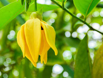 formation en ligne en aromathérapie - huile essentielle d'Ylang Ylang