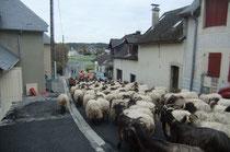Le gros du troupeau sur l'avenue de Goès