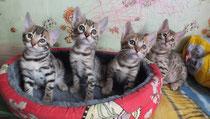 Ожидаются котята бенгальской породы