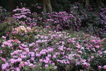 金剛三昧院の石楠花