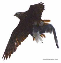 Seltener Raubvogel. Der Gerfalke ist die grösste Falkenart (Grösse eines Mäusebussards) und lebt in der Nordpolregion. © Robert Hansen