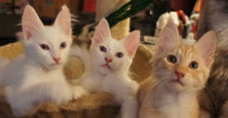 Lada Kedi Litter B at the age of 11 weeks