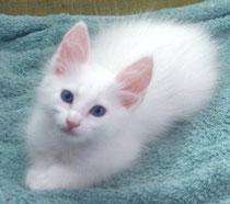 Lada Kedi Turkish Angora - white kittens of Litter C are 7,5 weeks old