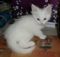 Kittens Lada Kedi