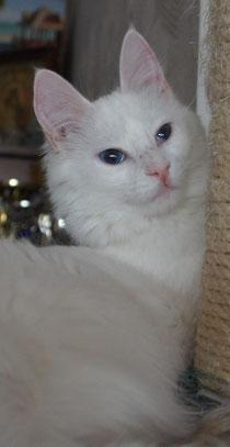 Catpuccino Blanchefleur of Lada Kedi