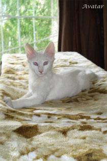 Lada Kedi Avatar - first days in new home, 4 months old, fotograd Elena Kosyakova