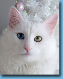 SC FIFe, WCH WCF Bolivar de Grand Crown, the very precious property of the Lada Kedi Cattery of Turkish Angora Cats