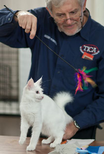 Geraylar Alenushka - Best Kitten of the Alfa Felis TICA show, Lohja, Finland, November 12-13