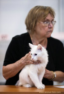 Lada Kedi Carte Blanche of Geraylar 4 m.o. - 5, 6, 7 Best Kitten at Expocat show 24-25/9/11 (TICA JetCat)