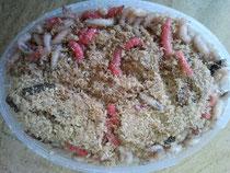 Larva de la mosca de carne