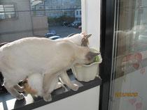 猫草を食べるネコちゃんたち