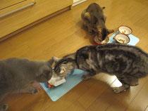 チーズに集まるネコちゃん