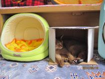 空箱で寝そべるアビ君