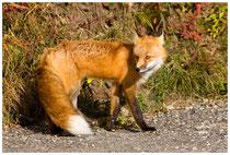 Der Fuchs als Räuber ...
