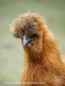 Seidenhuhn-Henne mit Bart