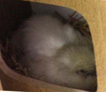 Henne am Nest