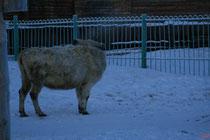 Северные коровы