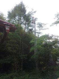 チェーンソーを腰にぶら下げて木の上に てっぺんを切り落としたところ