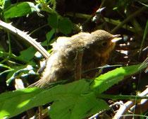 junges Rotkehlchen (VB)