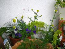 カモミール*真ん中 白い花