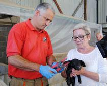 Juan Menéndez, veterinario de ACGA, marcando un ejemplar de gochu asturcelta