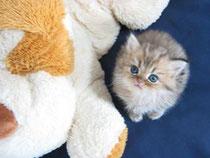 チンチラゴールデンの子猫