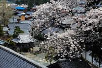 瑞林寺(早瀬)の桜