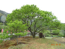 駐車場の栗の木が新緑を迎えています