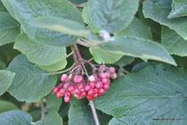 Viburnum lantana - Wolliger Schneeball - Wildsträucher - Heckensträucher - Viorne lantane - Viorne mancienne - Lentaggine - Wildstrauch