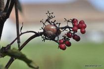 Sambucus racemosa - Roter Holunder - Wildbeeren - Sureau de montagne - Sureau rameux - Sureau à grappes - Sambuo rosso - Wildbeere - Wildfrüchte