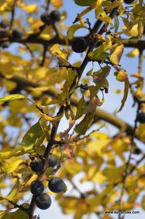 Prunus spinosa - Schwarzdorn - Schlehe - Schlehdorn - Prunellier - Prugnolo - Wildbeere - Wildfrüchte
