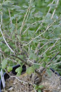 Ribes uva-crispa - Wilde Stachelbeere - Wildbeeren - Groseillier épineux - Ribes uva spina - Wildbeere - Wildfrüchte