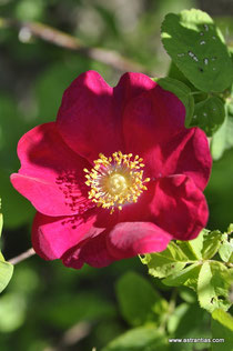 "Rosa gallica ""Officinalis"" - Apotheker-Rose - ""Officinalis"" Rosier de Provins - Rosa serpeggiante var. ""Officinalis"" - Historische Rose - Arzneirose - Duftrose - Ökologie - Red Rose of Lancaster"