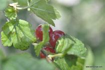 Ribes alpinum - Alpen-Johannisbeere - Wildbeeren - Groseillier des Alpes - Ribes alpino - Wildbeere - Wildfrüchte
