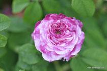 "Rosa gallica ""Conditorum"" - Rosa hungarica - Konditor-Rose - Zuckerrose - Ungarische Rose - Rose de Hongrie - RoseTidbit -   -Historische Rose-Arzneirose - Duftrose - Ökologie"
