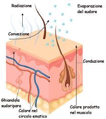 Schema del processo di sudorazione