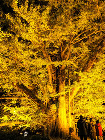 下城の大銀杏ライトアップ