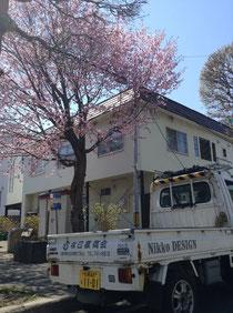 円山近辺の桜
