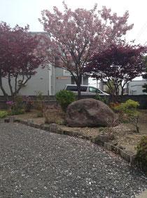 桜が散っています