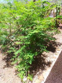 Moringa Pflanze