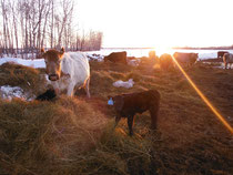 Sunset in one of the calf 'nests' we built in the spring.