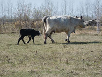 Cow and newborn calf