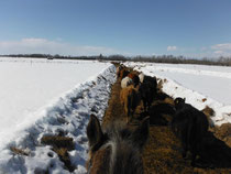 Moving the cows from nest to nest.