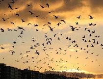 Pluie d'oiseaux morts