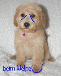 Hundepflege Schnoodle Doodle