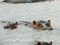 Hippos in St. Lucia