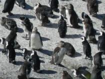 Pinguine Simonstown
