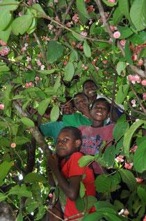 ラウラウの木に登り実を食べています。