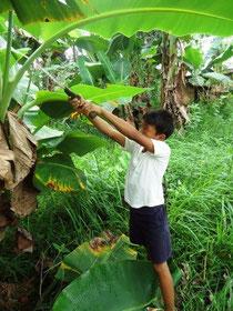 ポットづくりのためにバナナの葉っぱを集めます