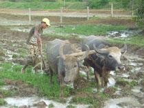 牛を使って水田を耕しました。